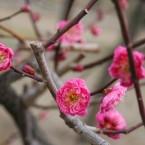 Osaka Castle Plum Orchard