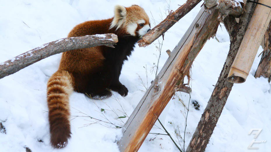 Red Panda appreciation
